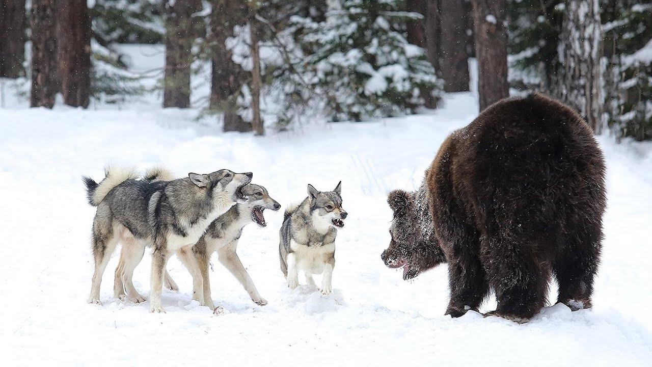 Охота с лайкой по зверю: активность собаки