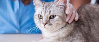 Кровь в моче у кошки: причины и лечение