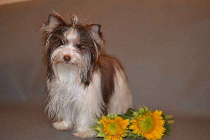 Биро йорк терьер: описание породы собак