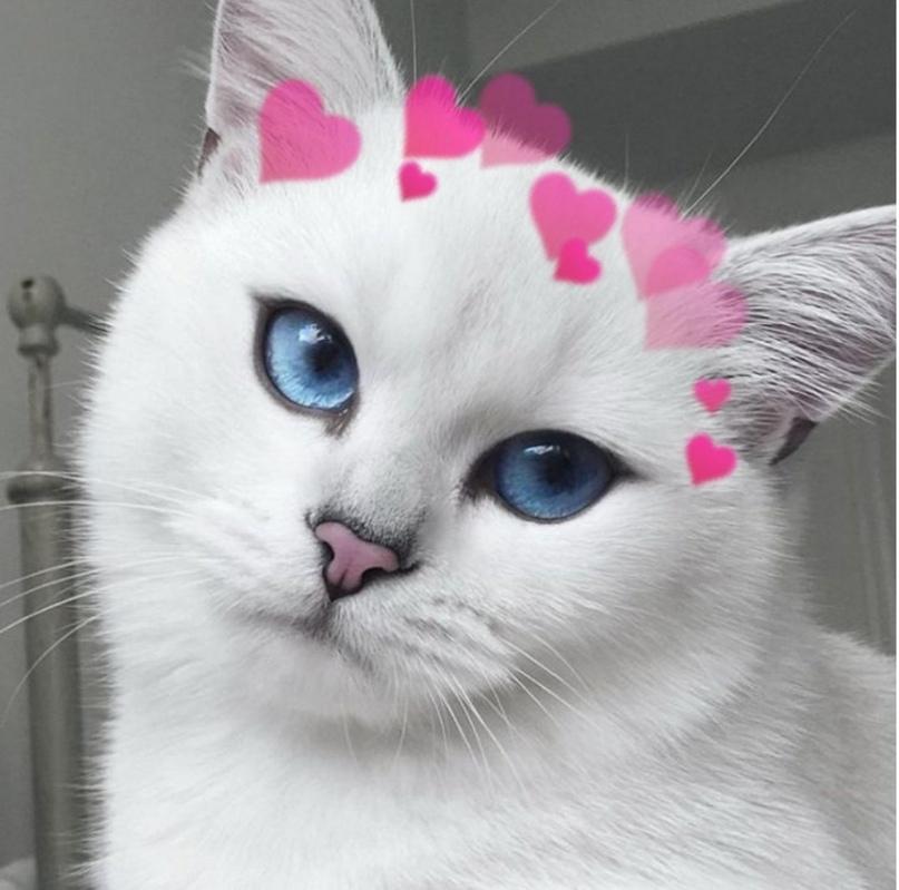 Кот Коби: порода с красивыми голубыми глазами