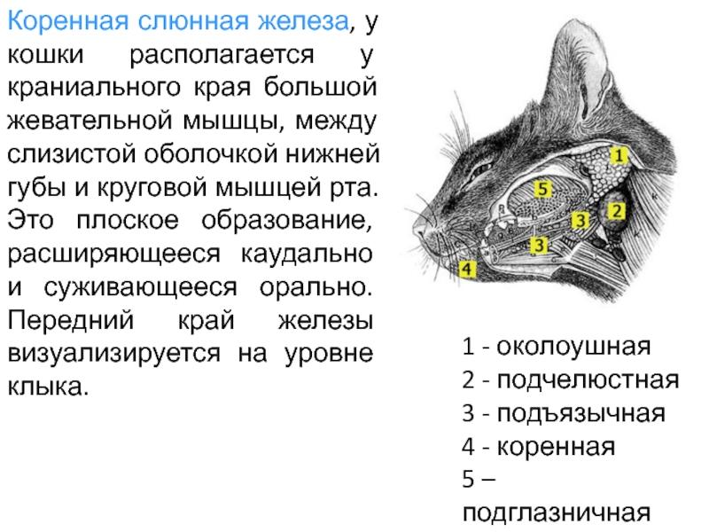 У кота текут слюни: основные причины и варианты лечения