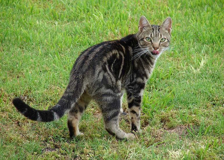 Кот-крысолов: основные варианты пород мышеловов