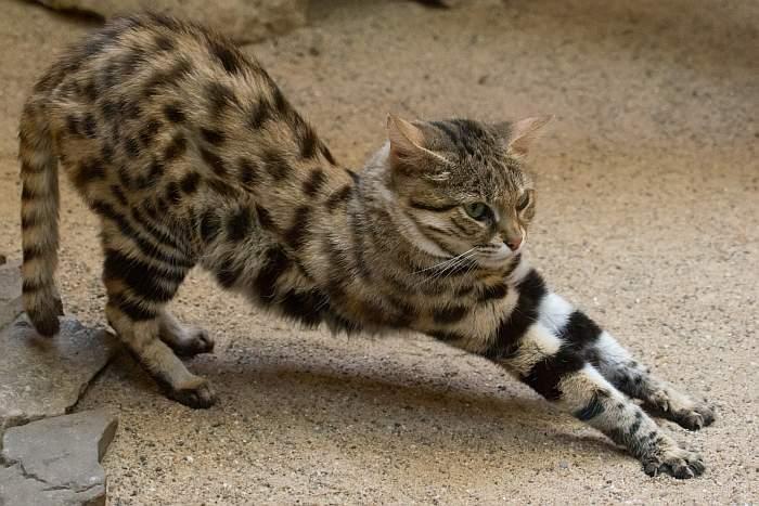 Черноногая кошка (африканский дикий кот)