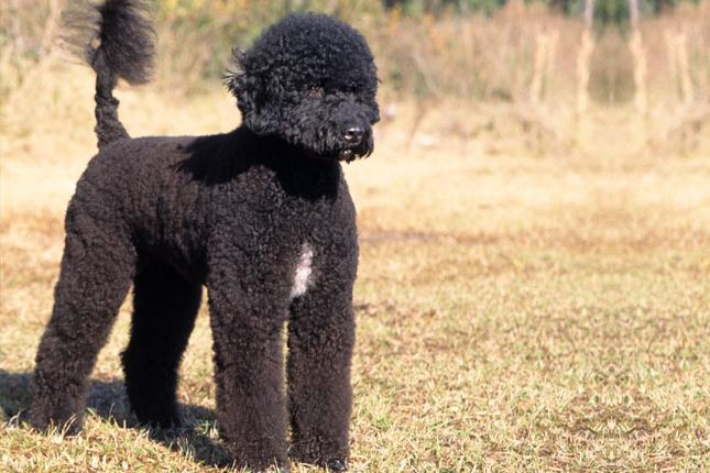 Португальская водяная собака: описание породы
