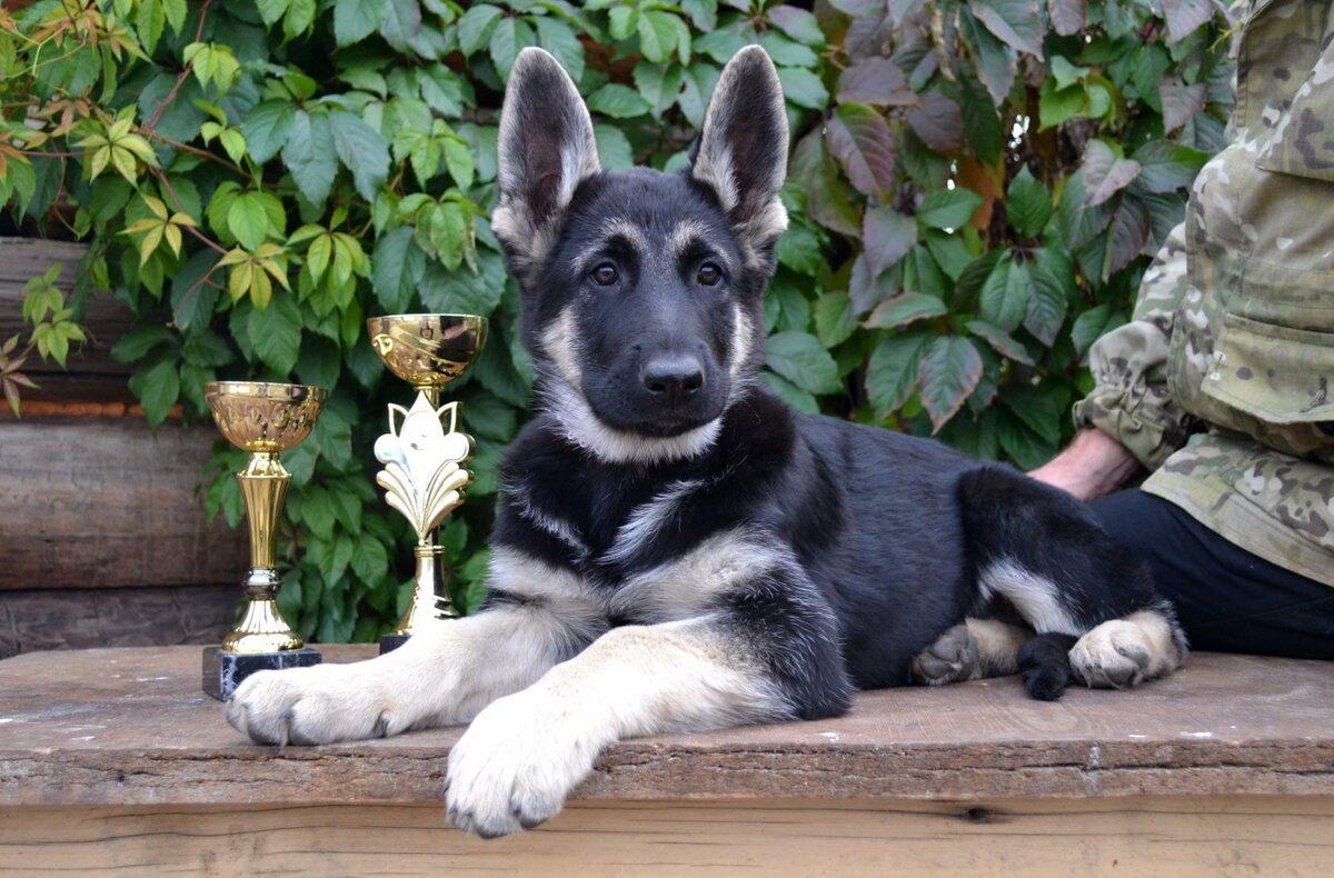 Восточноевропейская овчарка (ВЕО): крупная собака с необычной историей
