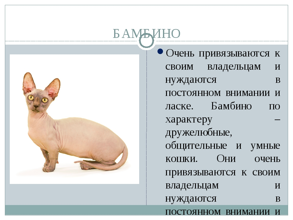 Бамбино кошка или сфинкс с короткими лапами