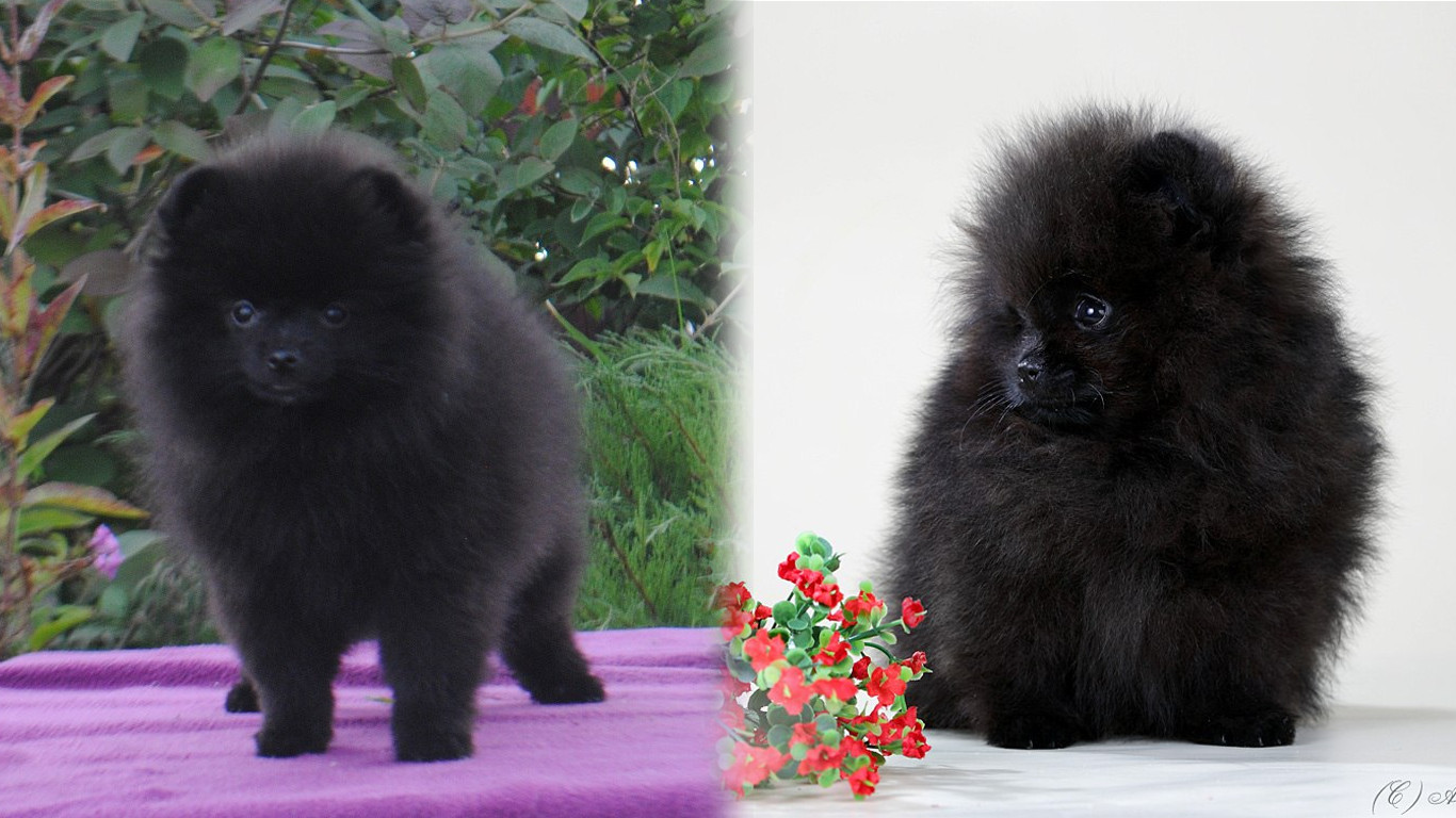 Черный шпиц: померанская черно-подпалая или черно-белая собака