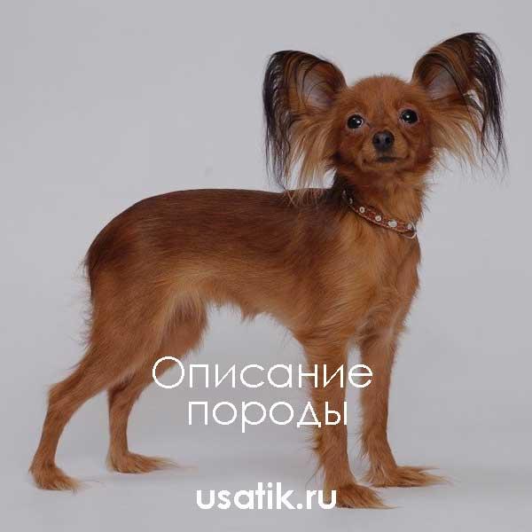 Русский той