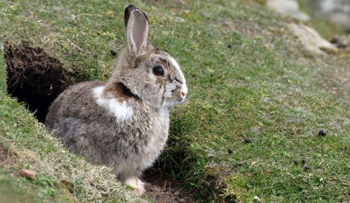 Дикий кролик: где живут в дикой природе в России