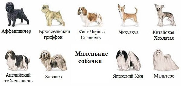 Маленькие породы собак: самые небольшие виды