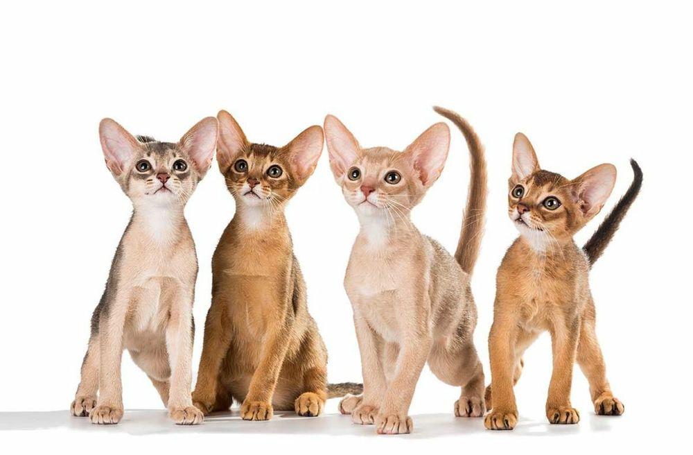 Абиссинская кошка — животное, которое не гуляет само по себе