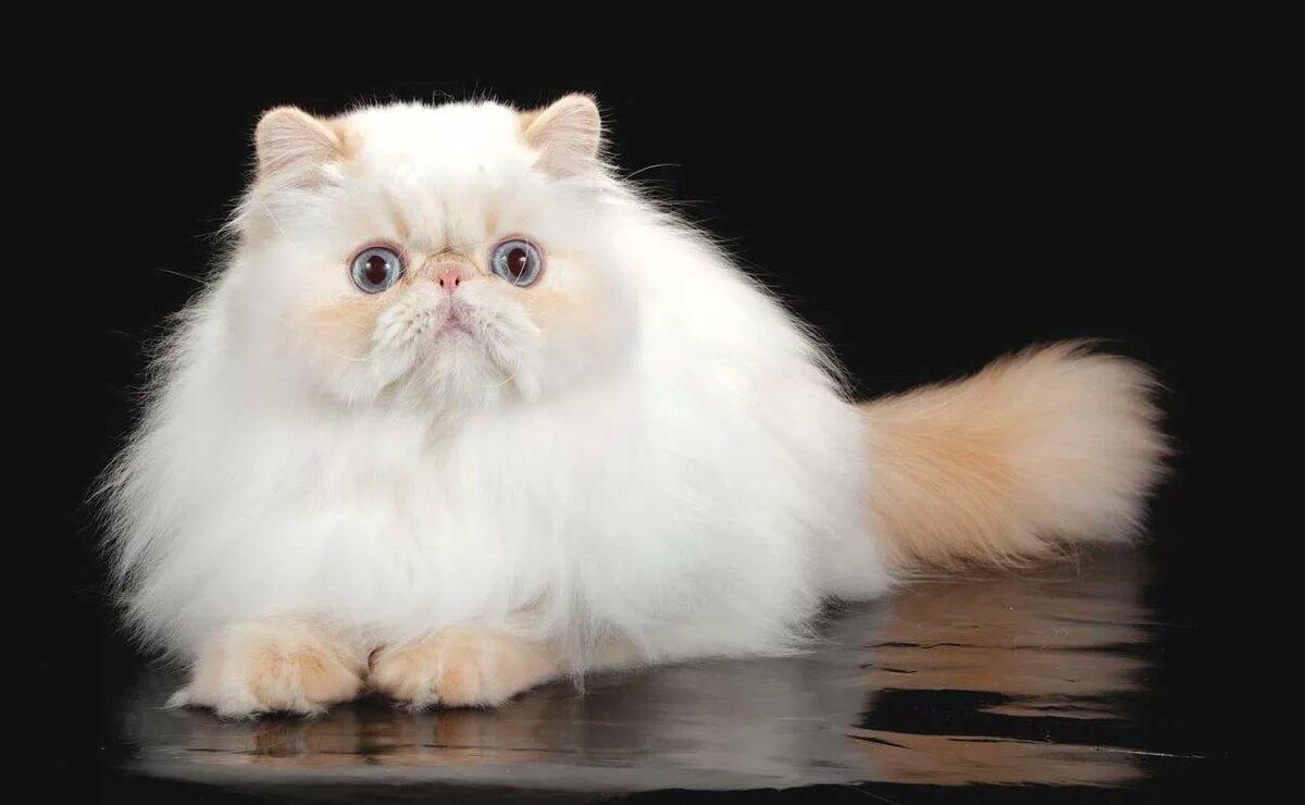 Пушистый кот — названия пород и примеры с красивым хвостом