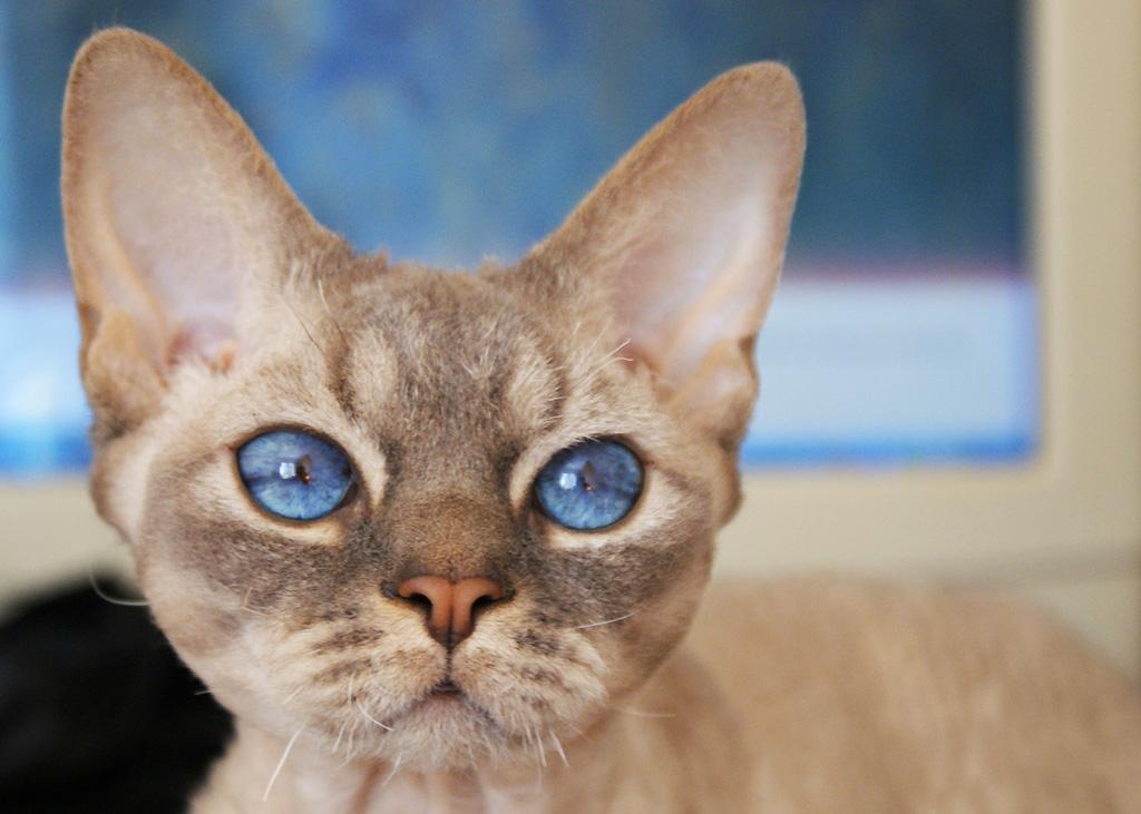 Большеглазые кошки: породы и их особенности