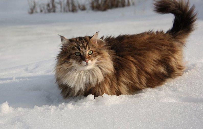 Норвежская лесная кошка — описание скандинавских котов
