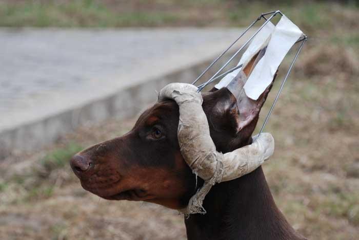 Некупированный доберман с ушами и хвостом
