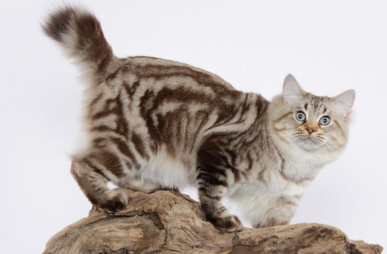 Американский бобтейл: кошки и коты