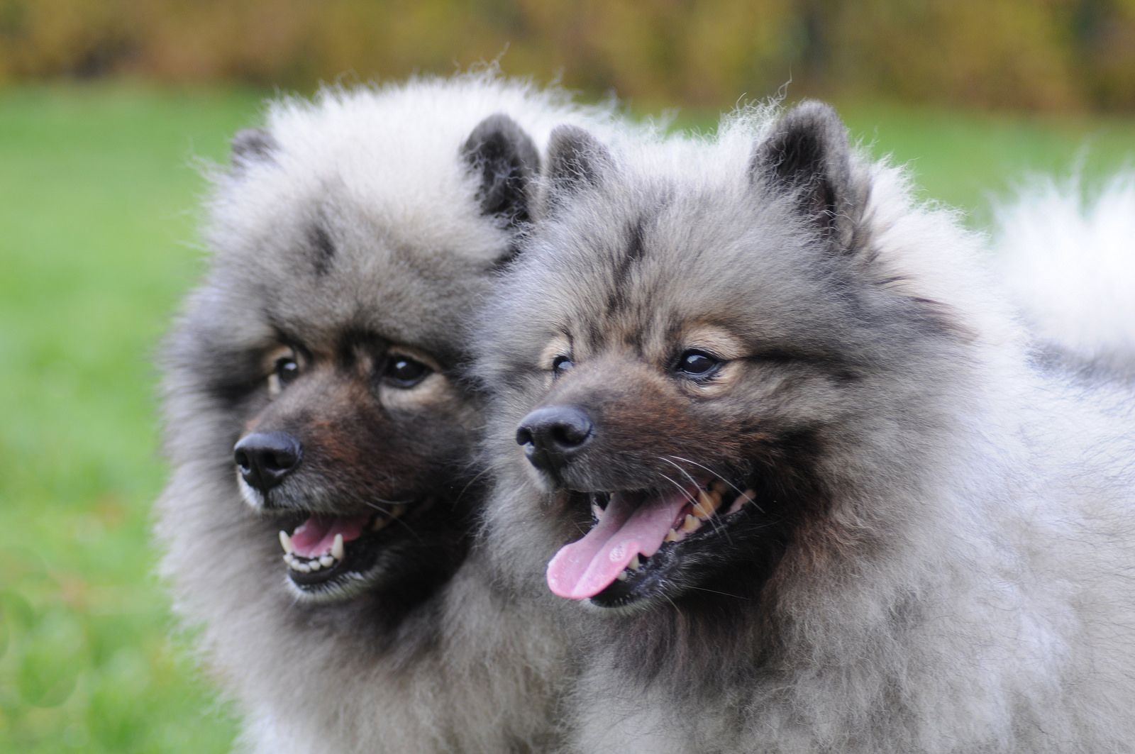 Кеесхонд (вольфшпиц) — порода собаки