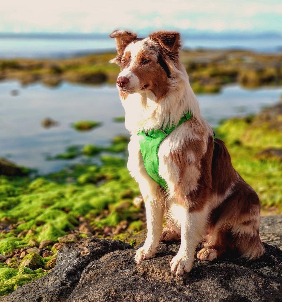 Аусси: австралийская овчарка родом из Америки