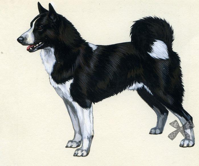 Карельская медвежья собака: описание породы