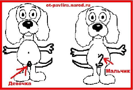 Как определить пол щенка: мальчик или девочка