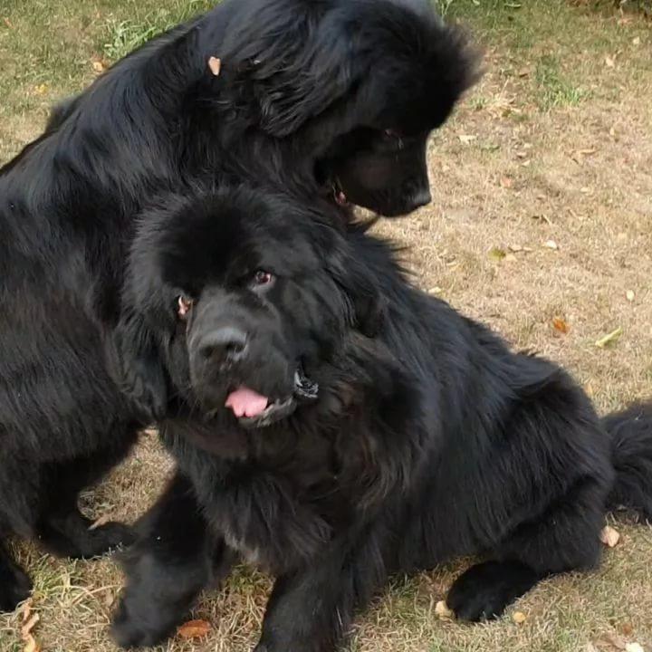 Водолаз (собака): описание ньюфаундлендов