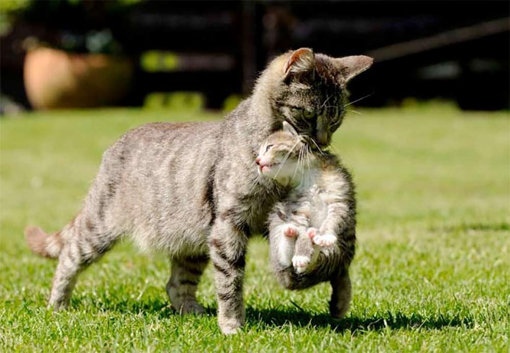 Почему кошка прячет котят — переносит в разные места и что делать