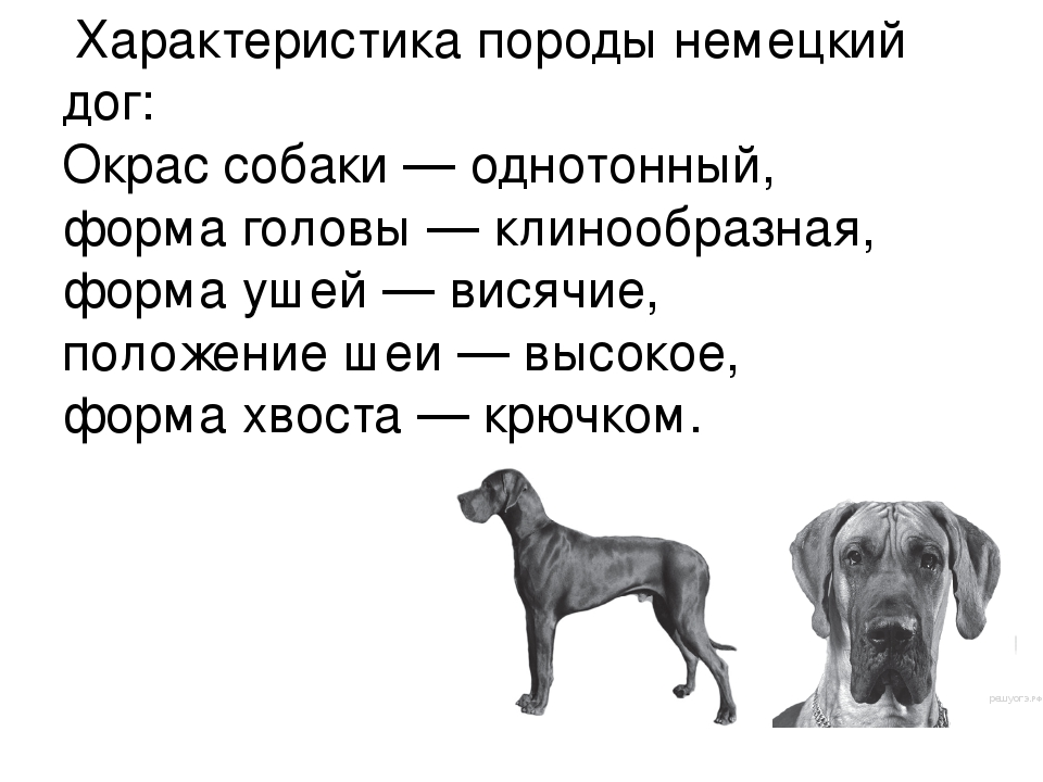 Доги: благородные гиганты собачьего мира