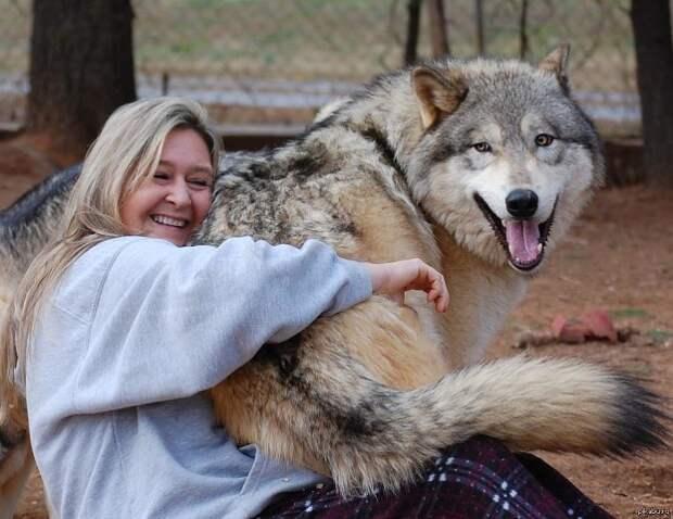 Волкособы: описание породы, размер собак