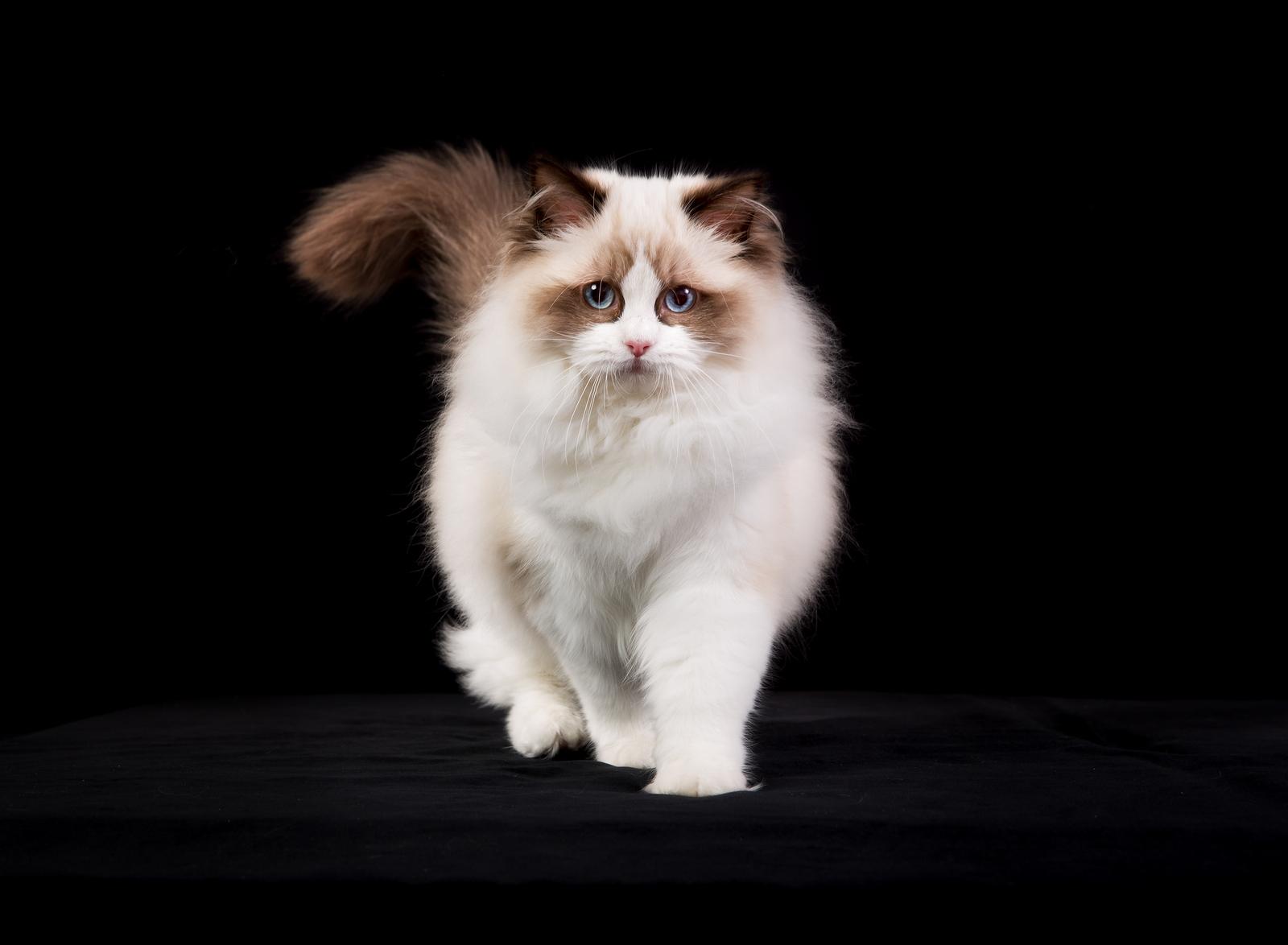 Рэгдолл: тряпичная кукла в кошачьем обличьи