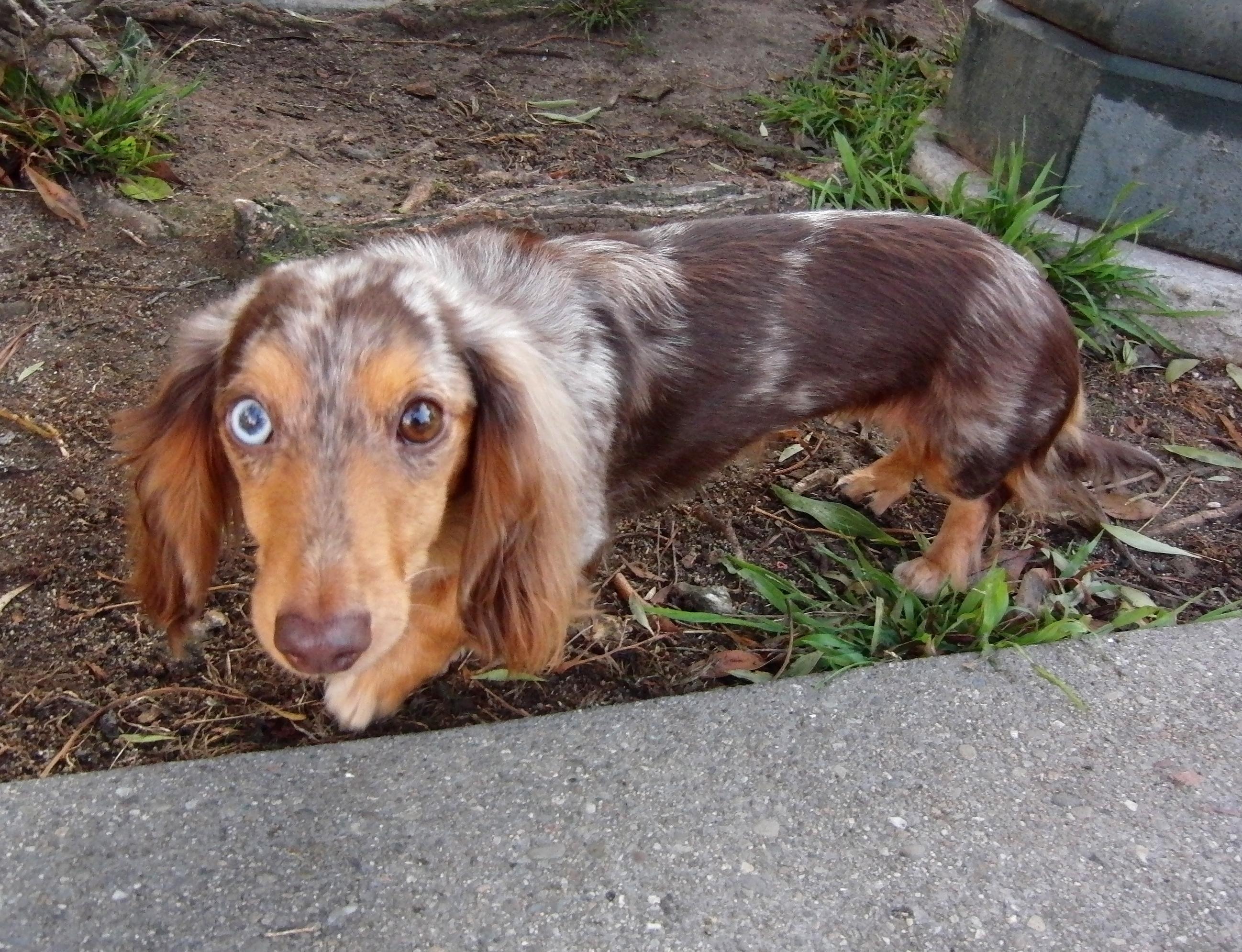 Мраморная такса длинношерстная с голубыми глазами