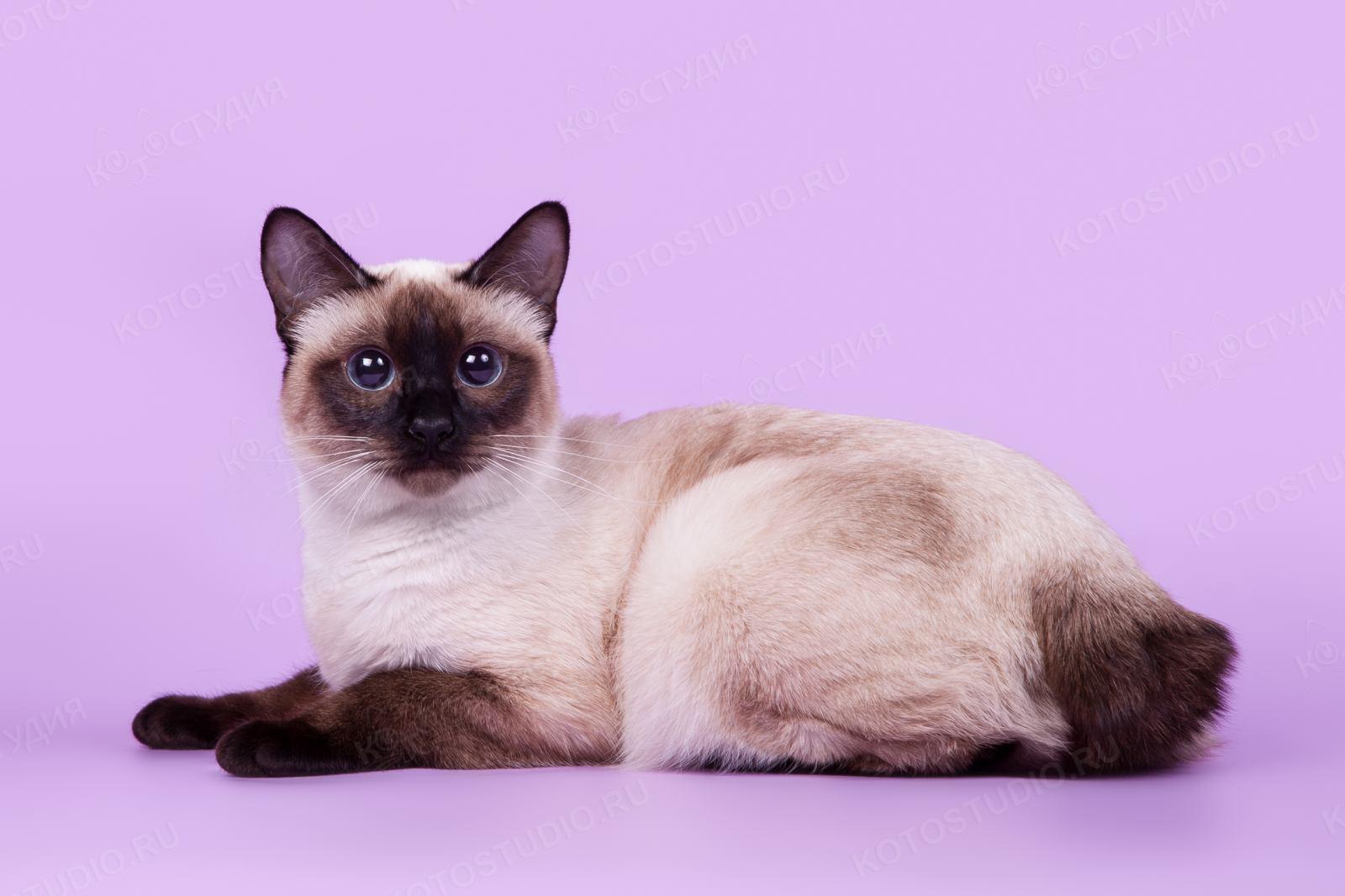 Меконгский бобтейл: кошки и коты