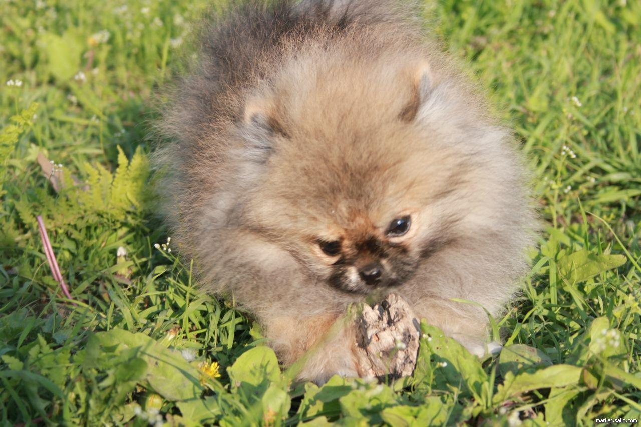 Померанский шпиц медвежьего типа (мини-мишка)