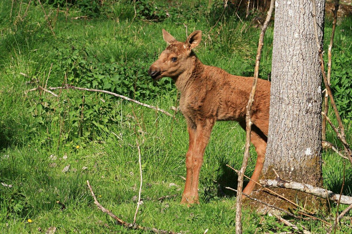 Лось — лесной гигант: 7 особенностей из жизни сохатого