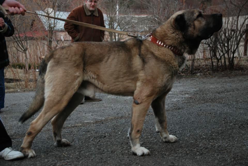 Гампр (армянский волкодав)