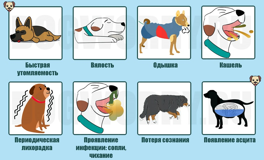 Собака кашляет: от чего и что делать в таком случае