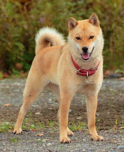 Хоккайдо — пёс с душой самурая