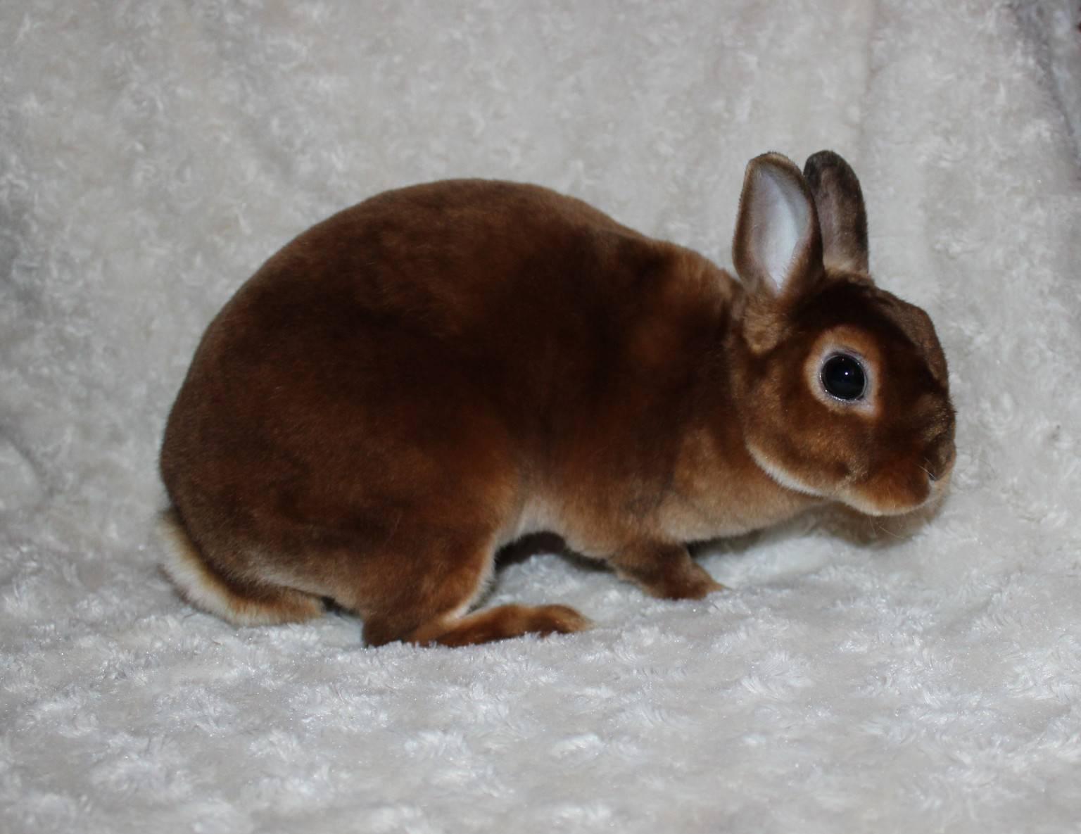 Маленькие кролики декоративных пород: обзор