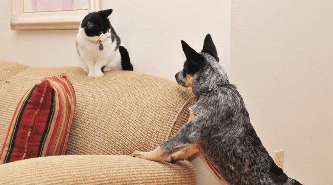Как подружить кошку с собакой: варианты примирения питомцев