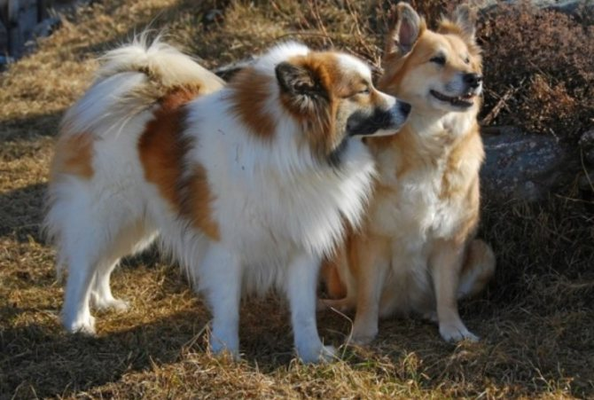 Исландская собака (Исландская овчарка)