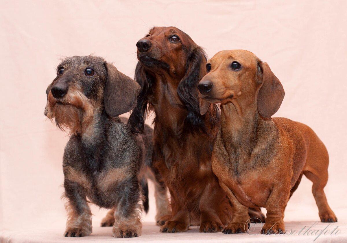 Такса — порода собак