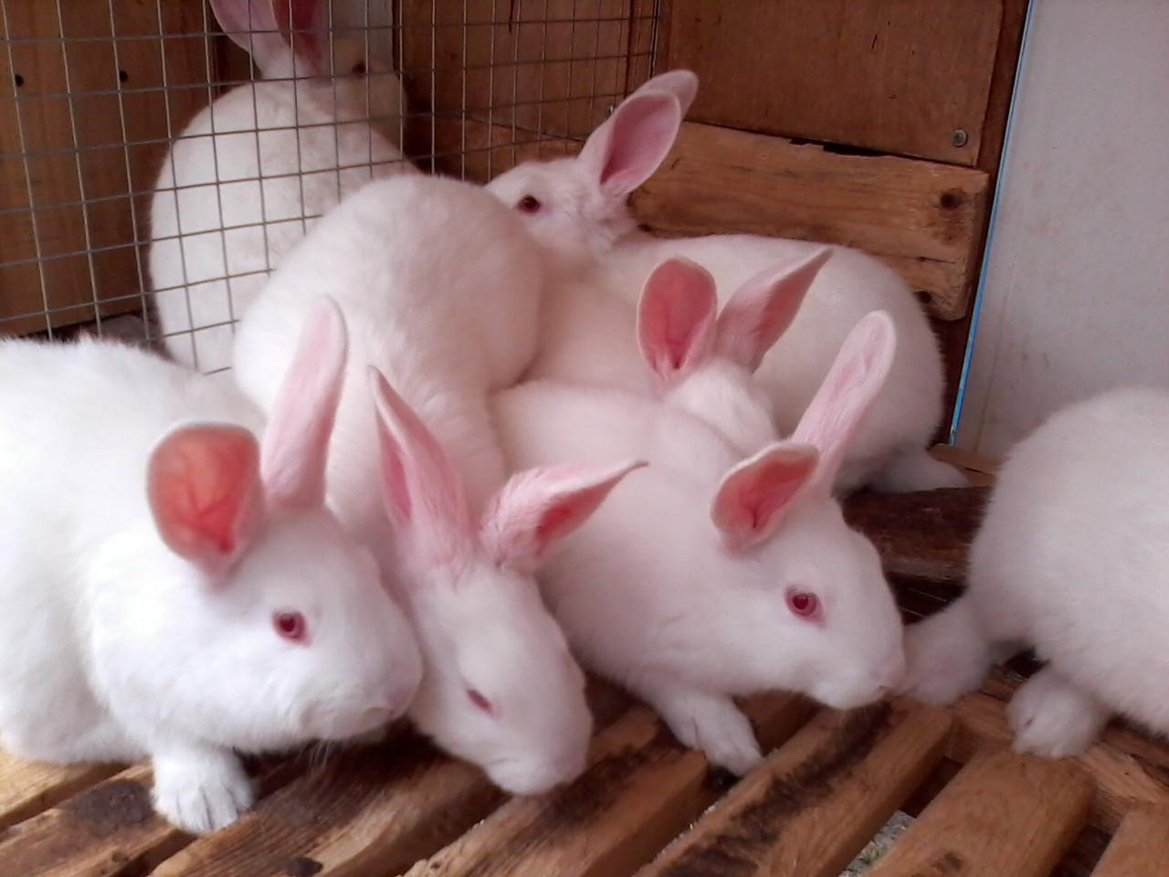 Белый паннон: характеристика и описание породы кроликов