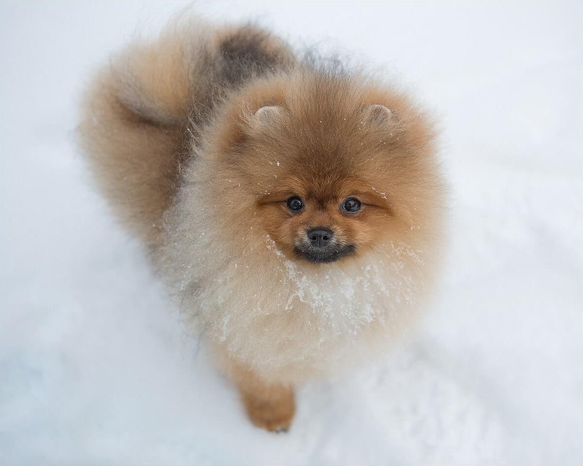 Мини шпиц: самые маленькие померанские собаки