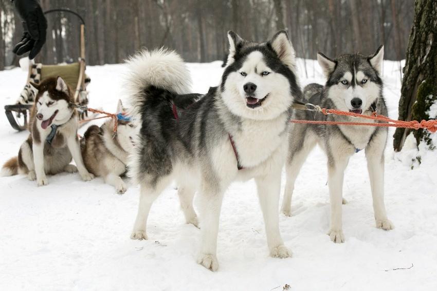 Сахалинский хаски (карафуто-кен) — порода собаки