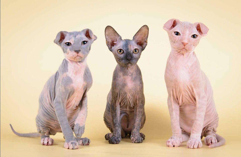 Украинский левкой: элегантная кошка с безупречными манерами