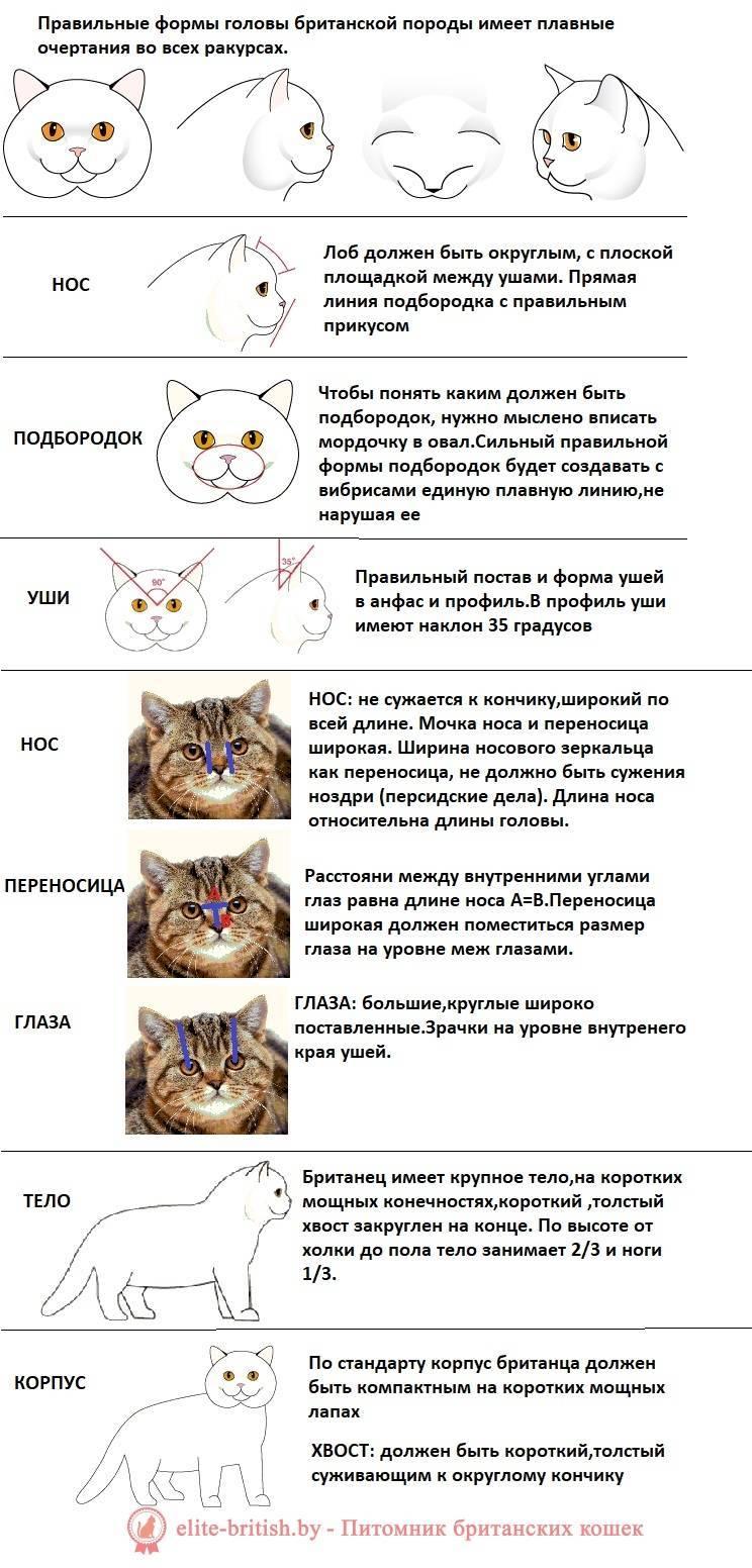 Британская вислоухая кошка — шотландская порода котов