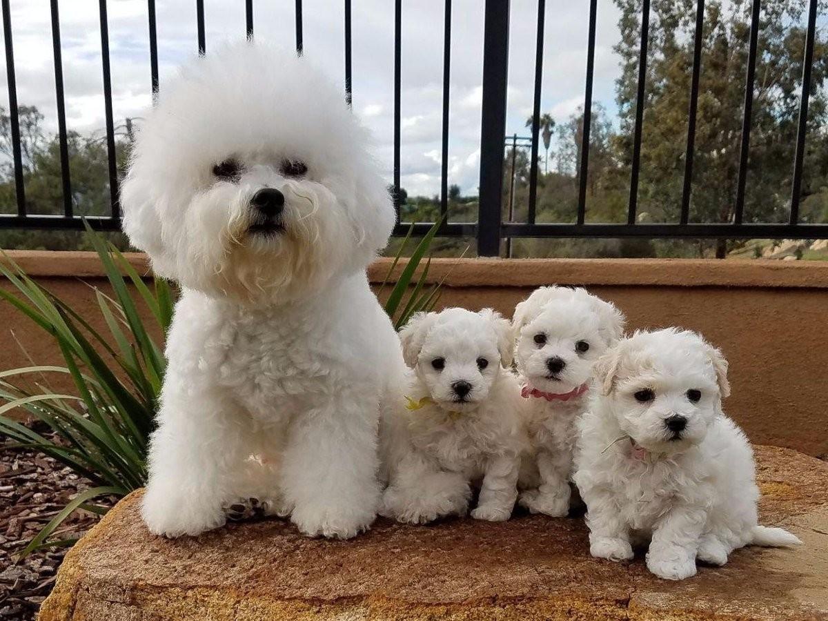 Декоративные собаки: породы