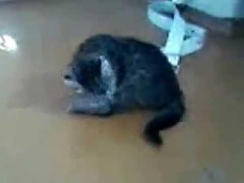Попа кота: почему ездит после туалета, причины покраснения