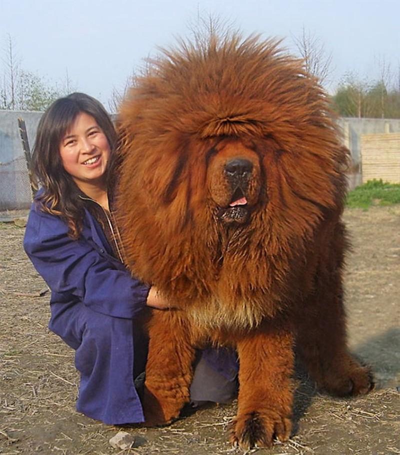 Самая большая собака в мире (тибетский мастиф)