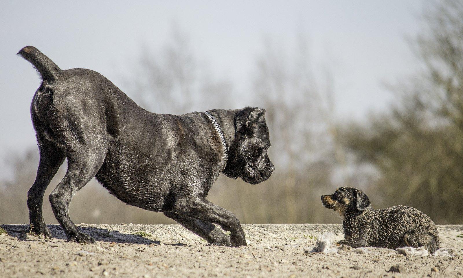Кане-корсо: 6 интересных фактов о древней породе