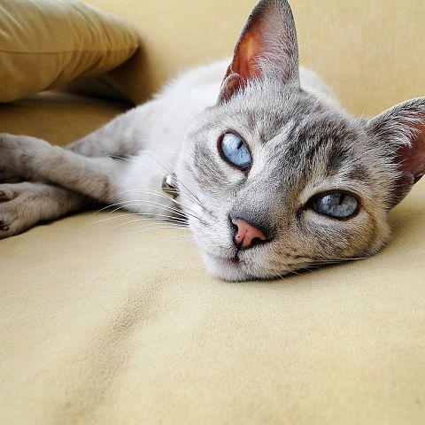 Охос азулес: особенности кошачьей породы